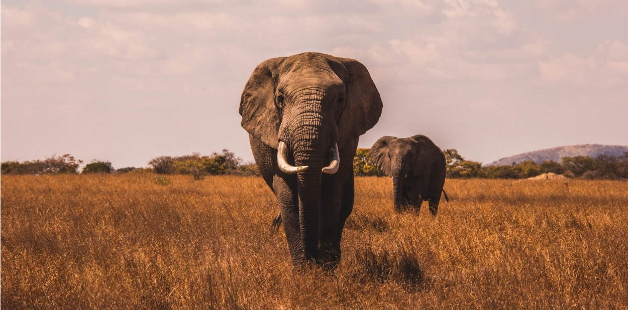 Elephants in a savannah.